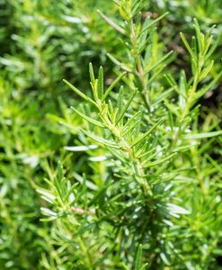 Fresh rosemary organic herb grow outdoor close up at rosemary leaves cooking ingredients for food