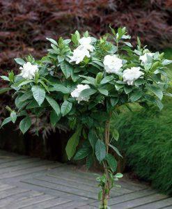 gardeniafloridastandard-image