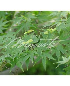 japanese-maple-foliage-acer-palmatum-japanese-maple-leaves