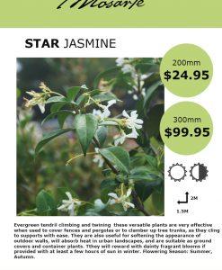 star-jasmine-info