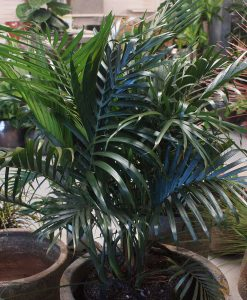 cascades palm
