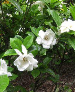gardenia-magnifica-image