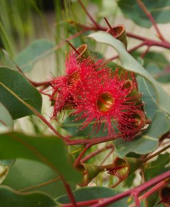 eucalyptus wildfiressm