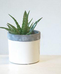 single aloe plant