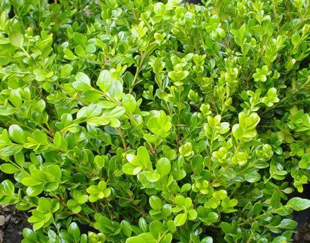 Buxus Japonica P
