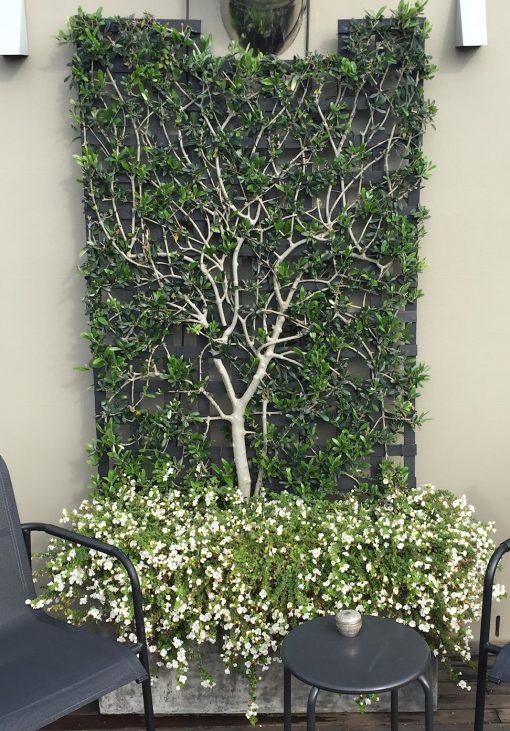 Olive Tree Espalier