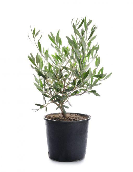 OlivetreeMR
