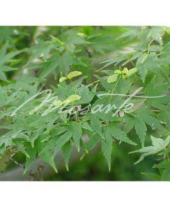 japanese-maple-foliage-acer-palmatum-japanese-maple-leaves