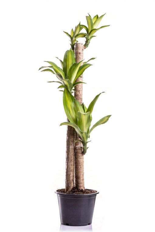 HappyplantMR1