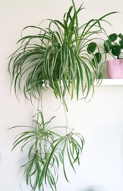 Ribbon Plant P