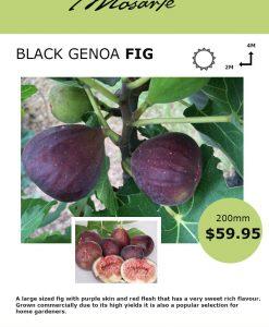 black-genoa-fig-info