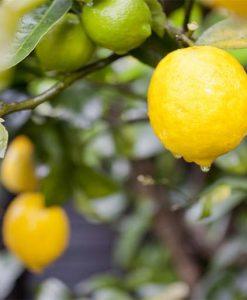 lemon-meyer-image