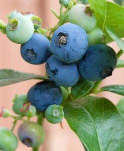 blueberry-plant